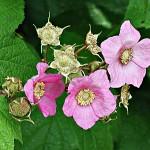 Малина душистая Rubus odoratus