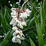 __Робиния псевдоакация Robinia pseudoacacia