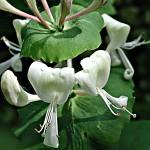 Жимолость каприфоль Lonicera caprifolium