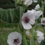 Алтей лекарственный. Althaea officinalis
