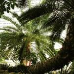 Финик лесной. Phoenix sylvestris