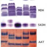 Генетический (аллозимный) полиморфизм сосны обыкновенной