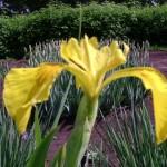 Ирис болотный (Iris pseudacorus L.)