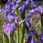 Ирис щетиноносный (Iris setosa Pall.ex Link)
