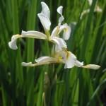 Ирис солелюбивый (Iris halophila Pall.)