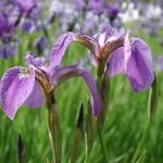 Ирис восточный (Iris sanguinea Donn)