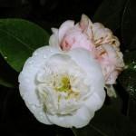 Камелия японская. Camellia japonica