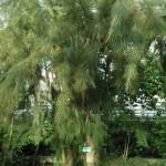 Казуарина хвощелистная. Casuarina equisetifolia