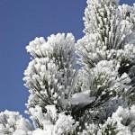Кедры в снегу