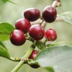 Кофе аравийский. Coffea arabica