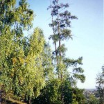 Лиственница Сукачева (г. Златоуст)