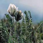 Остролодочник грязноватый (O. sordida (Willd.) Pers.)