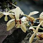 Целогина гребенчатая. Celogina cristata