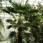 Трахикарпус фортуна. Trachycarpus fortunei