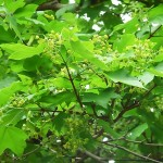 Acer campestre L. (Клен полевой) 4