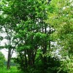 Acer campestre L. (Клен полевой) 5