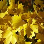Acer campestre L. (Клен полевой) 6