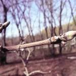 Acer campestre L. (Клен полевой) 8