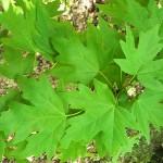 Acer campestre ssp. leiocarpon (Wall.) Pax (Клен полевой голоплодный) 10