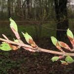 Acer campestre ssp. leiocarpon (Wall.) Pax (Клен полевой голоплодный) 11