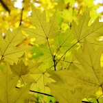 Acer campestre ssp. leiocarpon (Wall.) Pax (Клен полевой голоплодный) 2