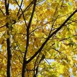 Acer campestre ssp. leiocarpon (Wall.) Pax (Клен полевой голоплодный) 3