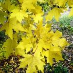 Acer campestre ssp. leiocarpon (Wall.) Pax (Клен полевой голоплодный) 4