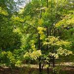 Acer campestre ssp. leiocarpon (Wall.) Pax (Клен полевой голоплодный) 5