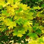 Acer campestre ssp. leiocarpon (Wall.) Pax (Клен полевой голоплодный) 6