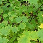 Acer circinatum Pursh (Клен завитой) 1