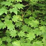 Acer circinatum Pursh (Клен завитой)