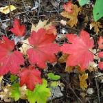 Acer circinatum Pursh (Клен завитой) 2