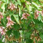 Acer ginnala Maxim (Клен гиннала) 4