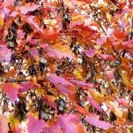 Acer ginnala Maxim (Клен гиннала) 5