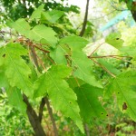 Acer ginnala Maxim (Клен гиннала) 6