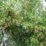 Acer ginnala Maxim (Клен гиннала) 9