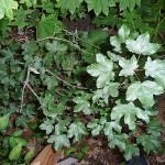 Acer hyrcanum Fisch. et Mey (Клен гирканский)  3