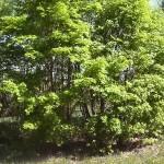 Acer mono Maxim (Клен мелколистный) 12