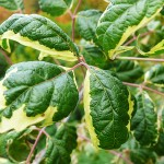 Acer negundo 'Aureo-variegatum' (Клен ясенелистный 'Aureo-variegatum')