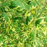 Acer negundo 'Aureo-variegatum' (Клен ясенелистный 'Aureo-variegatum') 2
