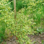 Acer negundo 'Aureo-variegatum' (Клен ясенелистный 'Aureo-variegatum') 4