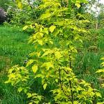 Acer negundo 'Aureum' (Клен ясенелистный 'Aureum')