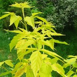 Acer negundo 'Aureum' (Клен ясенелистный 'Aureum') 2