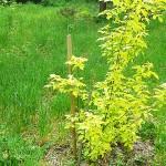 Acer negundo 'Aureum' (Клен ясенелистный 'Aureum') 3