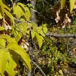 Acer negundo L. (Клен ясенелистный) 10