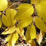 Acer negundo L. (Клен ясенелистный) 12