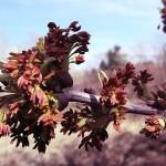 Acer negundo L. (Клен ясенелистный) 13
