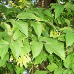 Acer negundo L. (Клен ясенелистный) 3