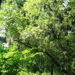 Acer negundo L. (Клен ясенелистный) 4