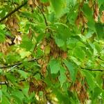 Acer negundo L. (Клен ясенелистный) 6